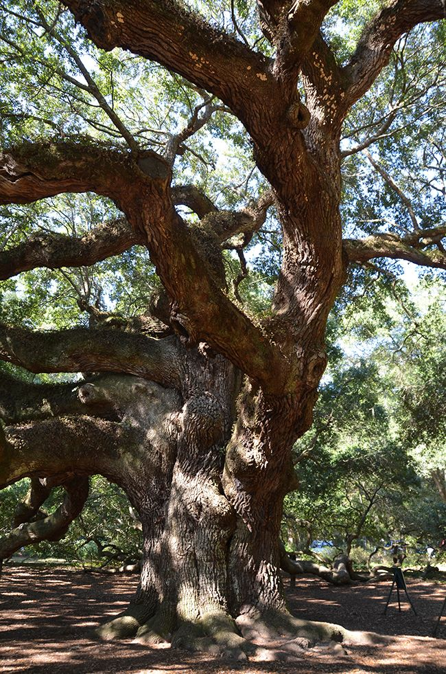 The Beautiful Angel Oak -a tree to hug and experience estimated to be over 1400 years old. #treehugger  #savetheplanet #ecofriendly #ecoliving