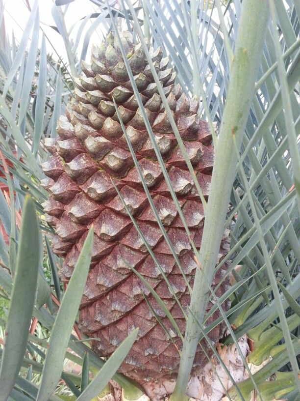 Encephalartos trispinosus female 2014