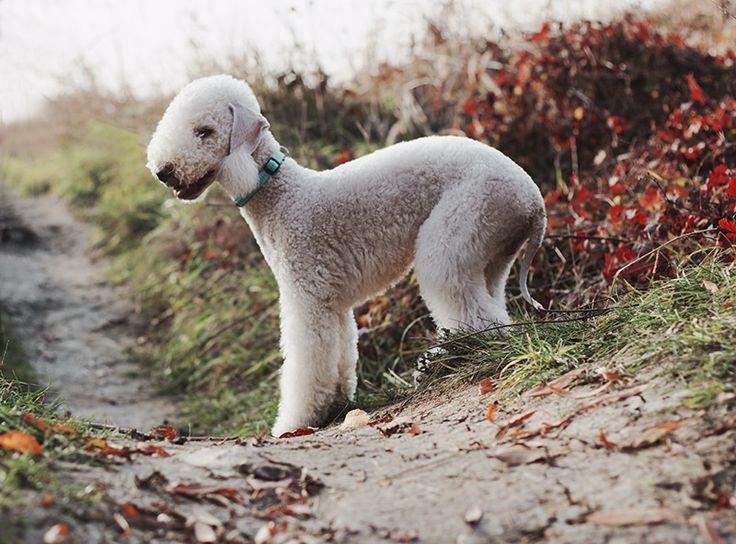 Bedlington terrier - null