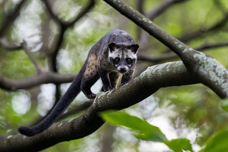 Asian Palm Civet - FY1X9526 | Flickr - Photo Sharing!