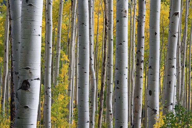 The silver birch is a slender tree with wafer-thin bark that readily peels away on younger trees. Find out more about this beautiful hardwood in our Nutshell information guide: http://www.worktop-express.co.uk/information_guides/birch-wood-worktops-nutshell-guide/