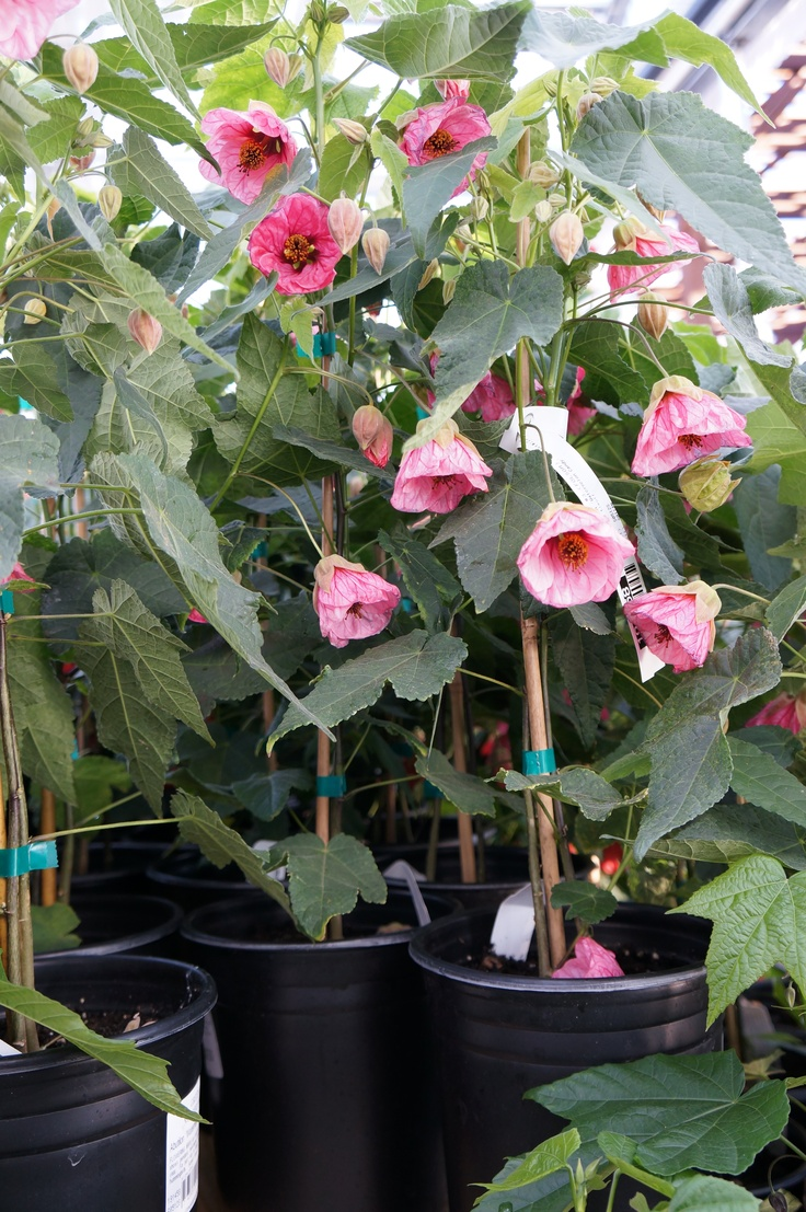 Abutilon Also Known As The Flowering Maple Hummingbirds