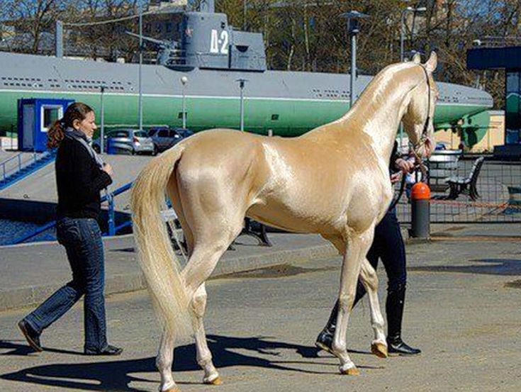 The Akhal-Teke is a horse breed from Turkmenistan. Only about 3,500 are