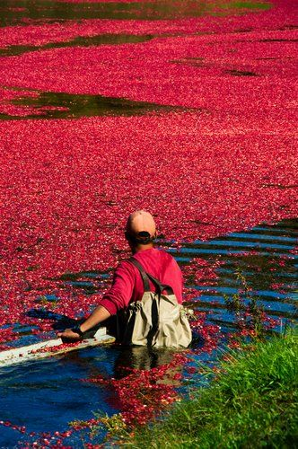 Cranberry harvest-one of my favorite things to watch-just beautiful