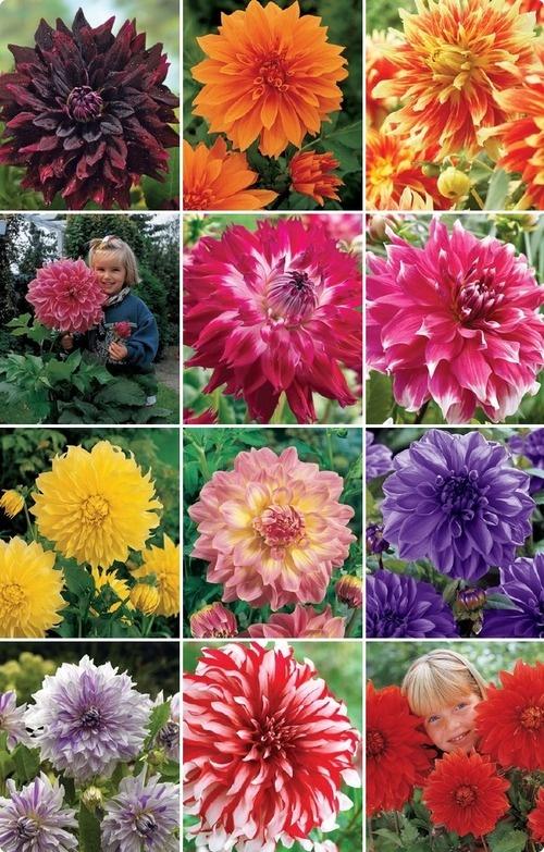 577 best Flowers Dahlia images on Pinterest Flowers Pretty