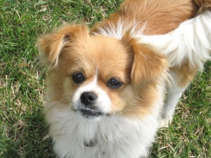 chihuahua peke mix adopt jazzy on chihuahuas memphis and shelters 3918
