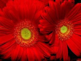 Sun Flowers Nature HD Wallpapers Red