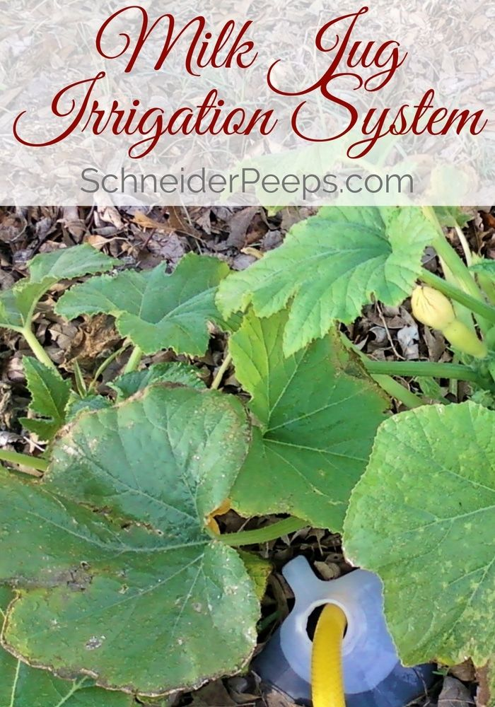 Milk Jug Irrigation is a great way to make sure that your garden gets watered deeply during the summer.: