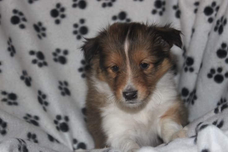 Sheltie puppy - This is another sheltie puppy for sale in a litter posted at http://www.network34.com