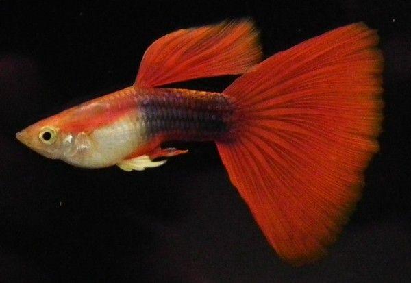 Guppy Triangle Tail Guppy Fish Guppy Freshwater Aquarium Fish