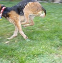 Emergency Recall Training for Dogs - How to get your dog to come to you no matter what.