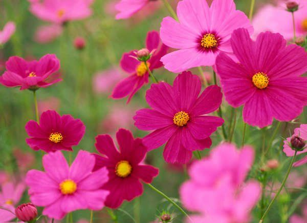 50 Plants That Thrive In Any Yard In 2020 Cosmos Flowers Fast Growing Flowers Annual Flowers