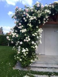 Planter un rosier grimpant (Fiches conseils)