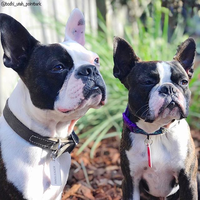This French Bulldog And Boston Terrier Chihuahua Mix Are Besties