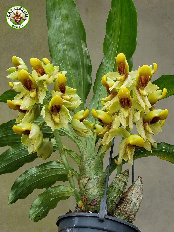 Catasetum Galeritum Plants Orchids Flowers