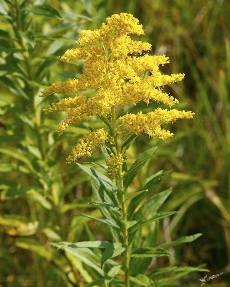 Missouri Goldenrod | Solidago missouriensis | Dan Mullen | Flickr