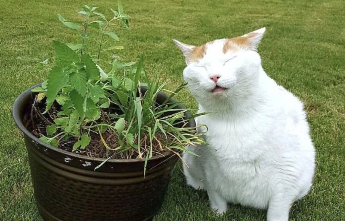 What Is Catnip And Is It Safe For Your Cat Bad Cats Pets Cats Catnip