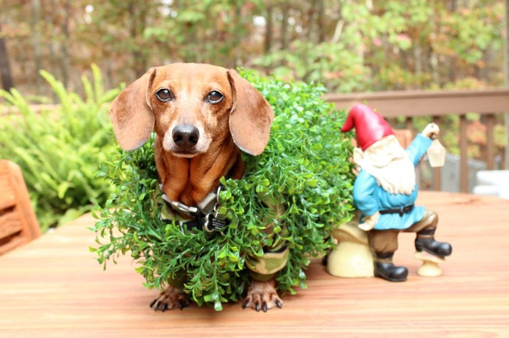 Chia Pet Dachshund costume! Shut up! LOVE. Especially the gnome edition. lol.