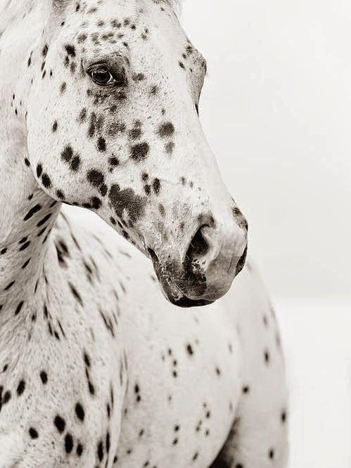 hehe a Dalmatian Horsee.. (just kiddin') ~*~moonmistgirl~*~