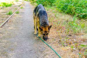 Schæferhund, Luna, Gørlev