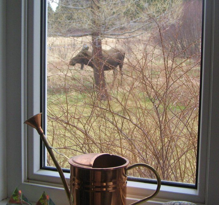 View of moose through a window in Rattling Brook, Green Bay, Newfoundland