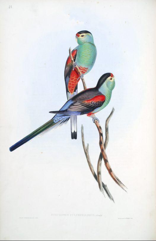 Beautiful Parakeet - Psephotus pulcherrimus