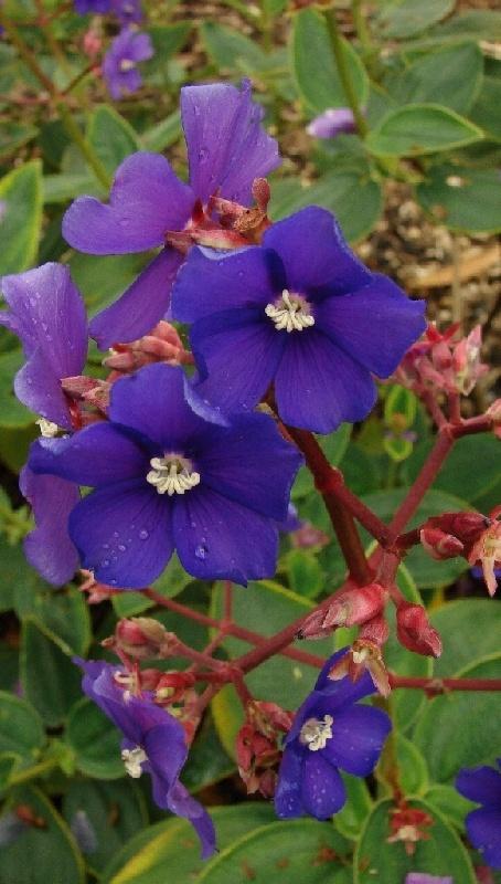 Tibouchina heteromalla #flowers #australia
