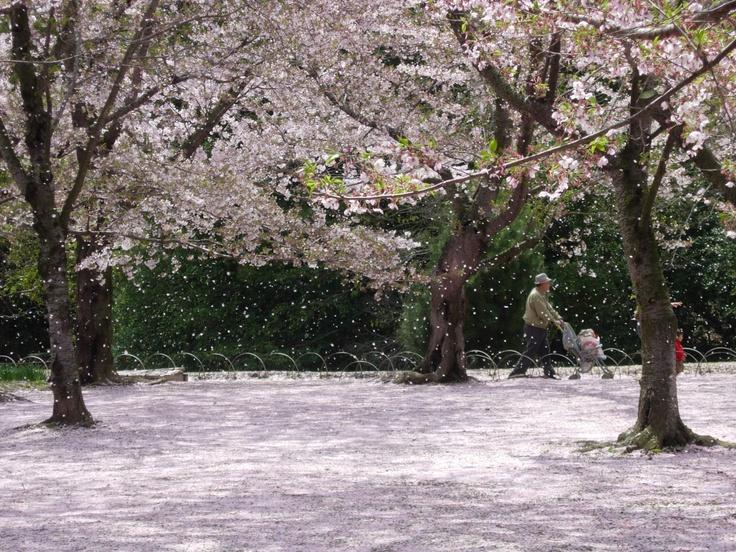 @okayama,Japan cherryblossom