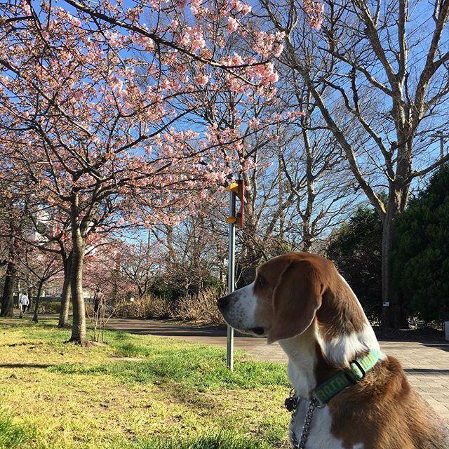 【jeongaesoh】さんのInstagramをピンしています。 《河津桜とクウ #beagle #beaglelover #dogstagram #beagledaily #dog #dogstagram #walking #ビーグル #犬 #空 #クウ #비글 #강아지 #산책 #벗꽃 #河津桜 #桜 #昼さんぼ #あたたかい》
