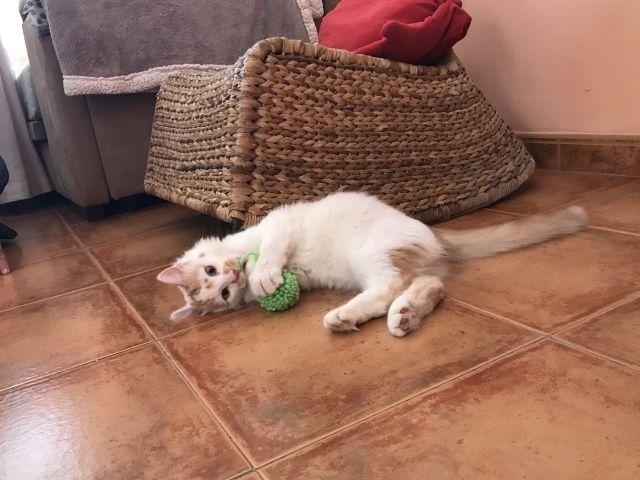 Raspa es un gato de pelo largo muy cariñoso y juguetón, es negativo a enfermedades y está sano de... #adoptar #mascotas #adopcion #perros #gatos