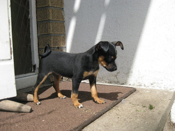 RUSSIAN TOY TERRIER/RUSSKY TOY. brother for dong?