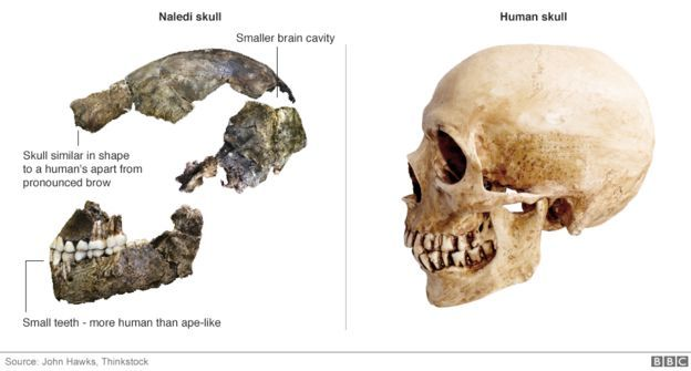 A primitive type of human, once thought to be up to three million years old, actually lived much more recently, a study suggests. The remains of 15 partial skeletons belonging to the species Homo naledi were described in 2015. They were found deep in a cave system in South Africa by a team led by Lee Berger from Wits University. In an interview, he now says the remains are probably just 200,000 to 300,000 years old.
