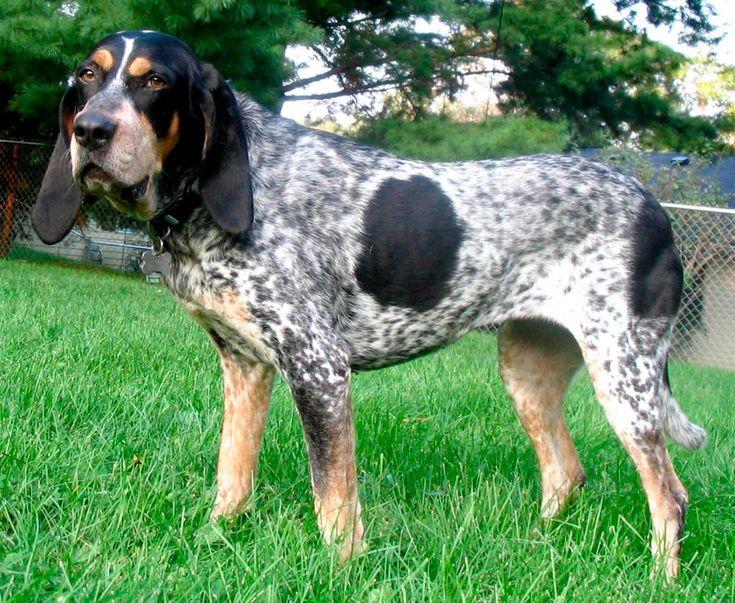 Muito 46 best Bluetick Coonhound images on Pinterest | Bluetick  UC15