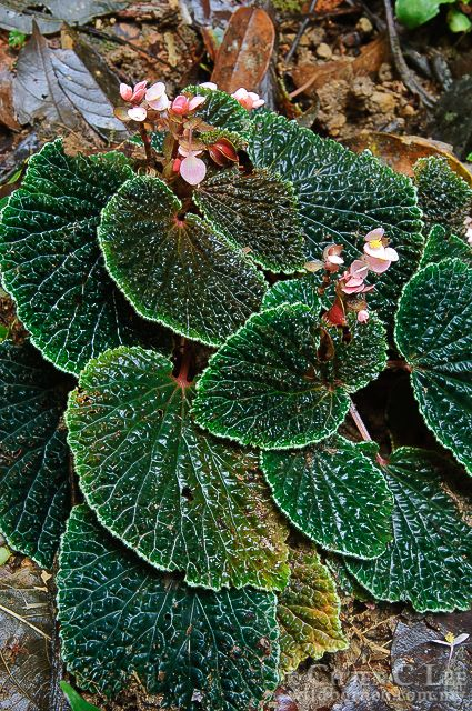 Begonia ruthiae was found along the trails of the Danum valley in Sabah, in one of the last remaining areas of unlogged lowland forest in Borneo.