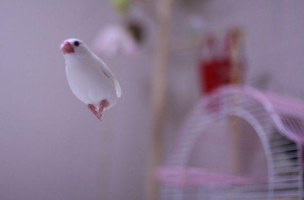 文鳥の飛んでる写真を撮ろう♪ - ◆白文鳥キティとベランダ園芸◆