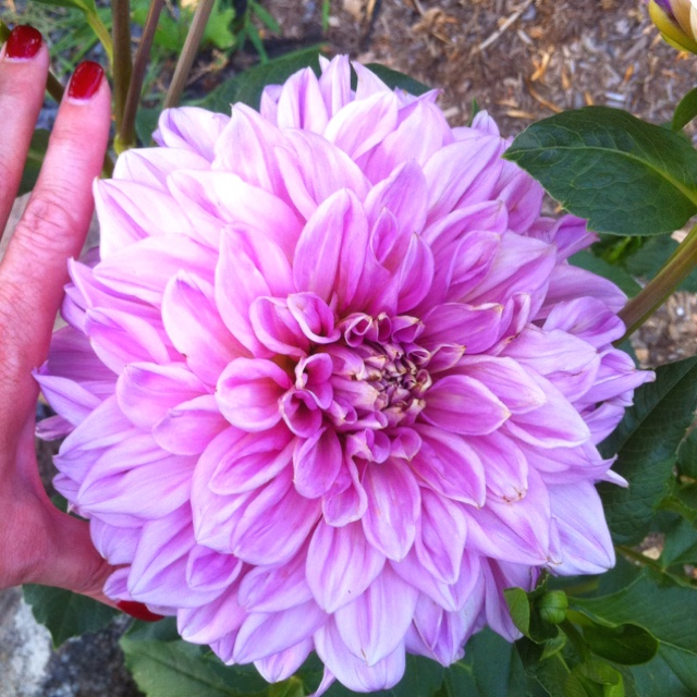 1st try at growing a dahlia bush!