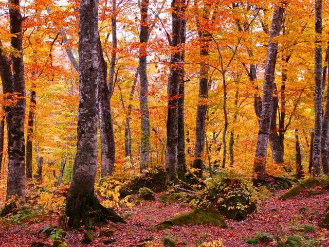 白神山地 岳岱自然観察教育林の紅葉情報   紅葉情報2015 - Yahoo! JAPAN
