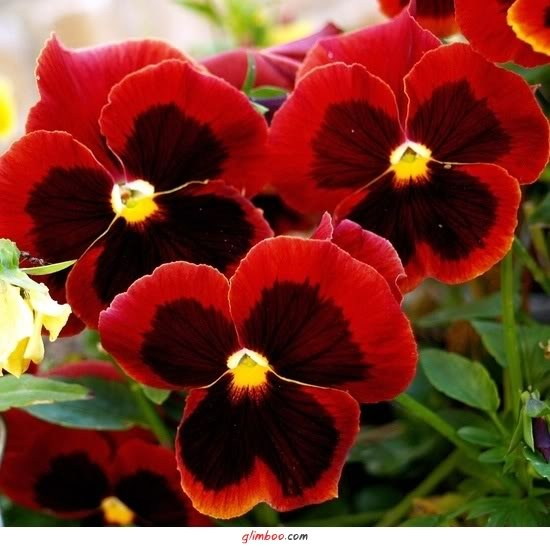 10 Pansy Black Beauty: 1000+ Images About PANSIES; WINTER BEAUTY On Pinterest