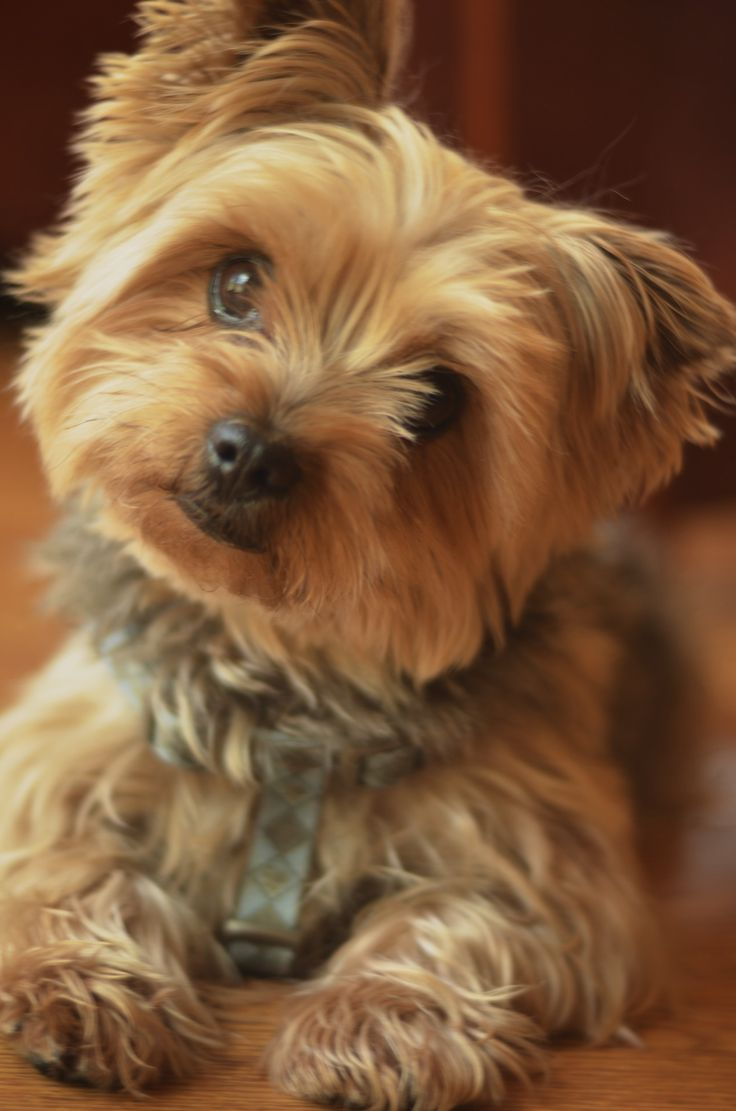 That's the Yorkie head tilt... Yorkshire Terrier Puppy Dogs