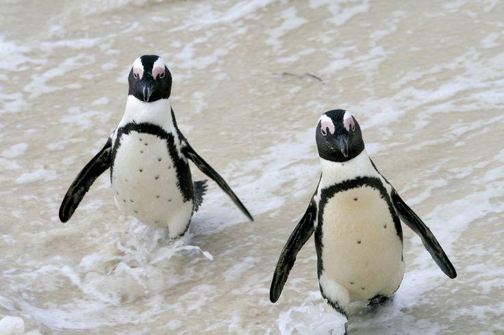 Hay una playa en Sudáfrica llena de Pingüinos Esta es posiblemente una de las mejores playas que alguna vez haya existido. | Hay una playa en Sudáfrica llena de Pingüinos