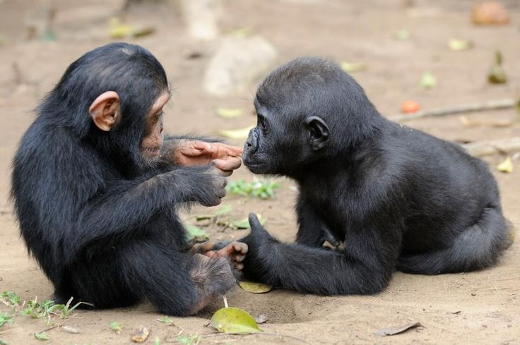 Chimpanzee and gorilla checking one another out. Will they be lifelong friends?