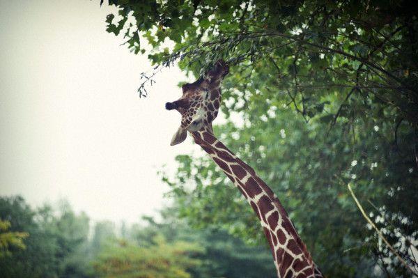 Giraffe in Artis, by Jorinde Reijnierse