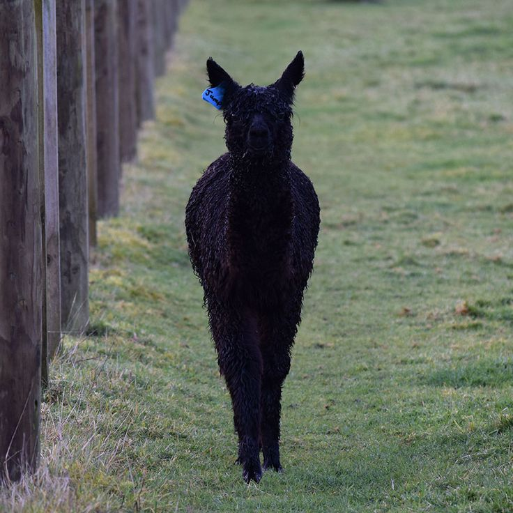 Jump has now reached 4.5 months of age. He is a rather special little alpaca who loves lots of attention.