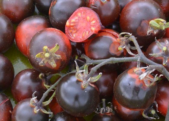 Fahrenheit Blues - Magnifique variété produisant des tomates cerises de 2,5 cm de diamètre. Les fruits sont très riches en anthocyanes, de puissants antioxydants. Les feuilles sont ourlées - laissant ainsi pénétrer plus de lumière solaire. Très grande productivité. Croissance indéterminée.