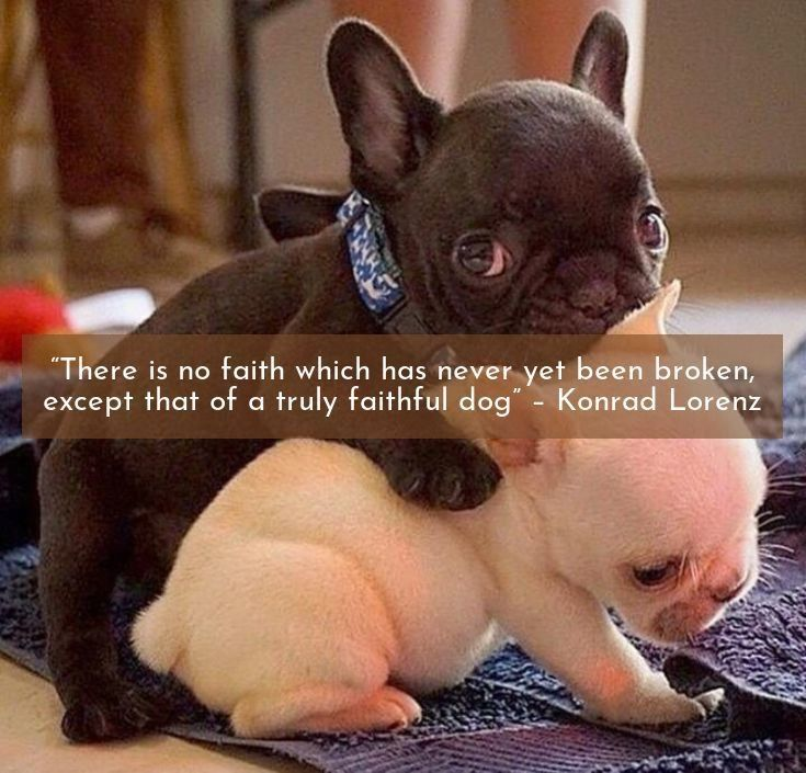 If You Re Lucky A Dog Will Come Into Your Life Steal Your Heart And Change Everything French Bulld French Bulldog White French Bulldog Puppies Puppy Facts
