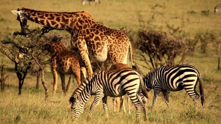 Masai Mara Big Cat, Wildlife Research & Conservation Project, Kenya