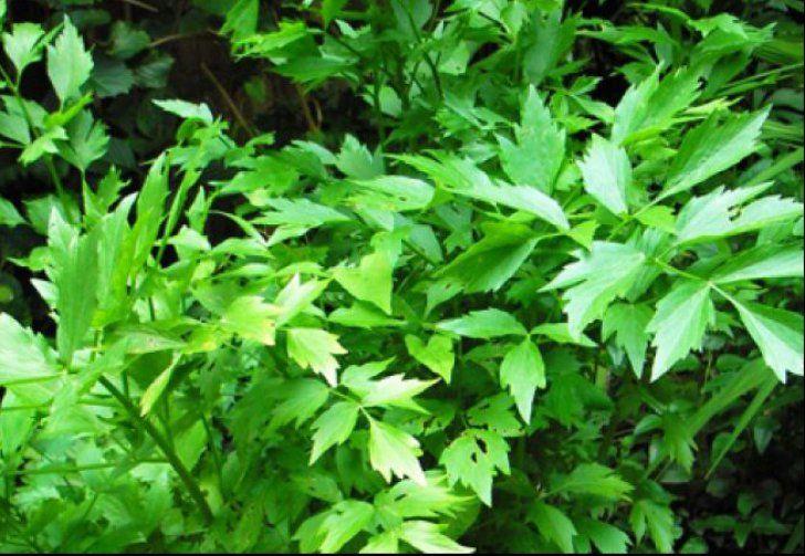 Leușteanul este o plantă aromatică de origine mediteraneană, cunoscută și apreciată din antichitate, atât în scop culinar cât și medicinal. În bucătăria tradițională românească, acest condiment este folosit la prepararea ciorbelor și a diferitelor fripturi, dar și la murături. Aproape … Continuă citirea →