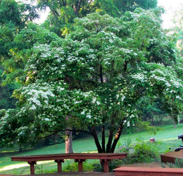 evergreen dogwood tree