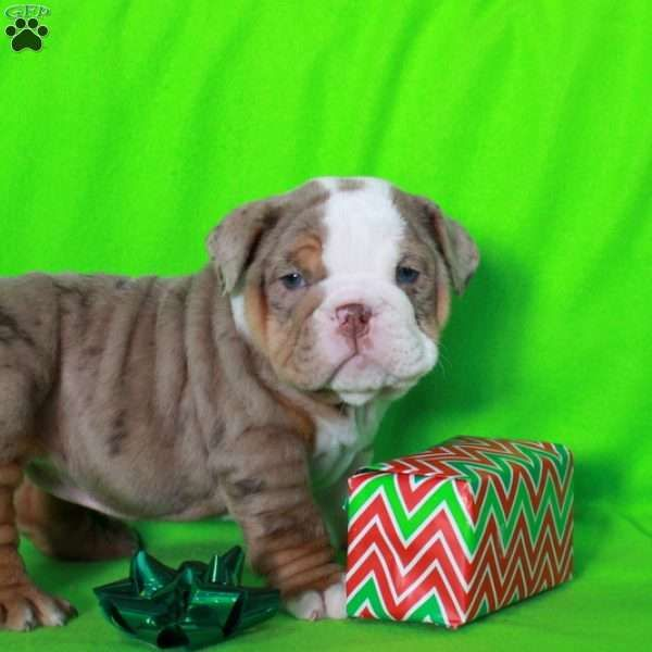 Hazel English Bulldog Puppy For Sale In Pennsylvania Bulldog