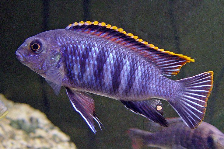 A purple and gold cichlid... I want a dozen. lol